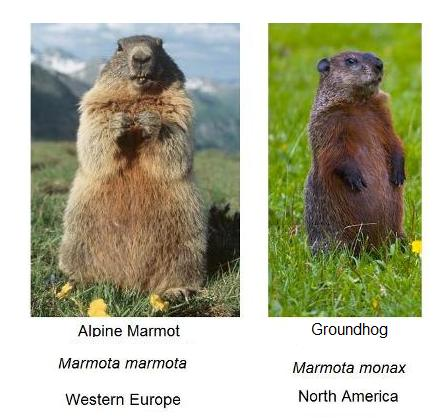 marmots-and-groundhogs-2